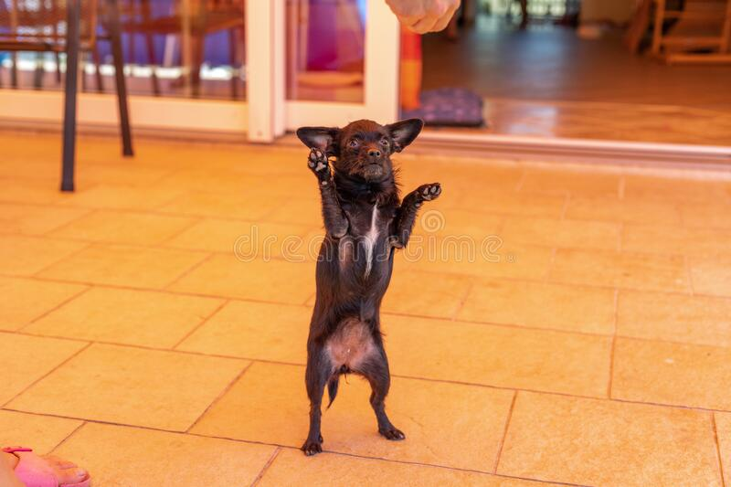 Beautiful little dog is dancing for food, Chipoo Dog royalty free stock image