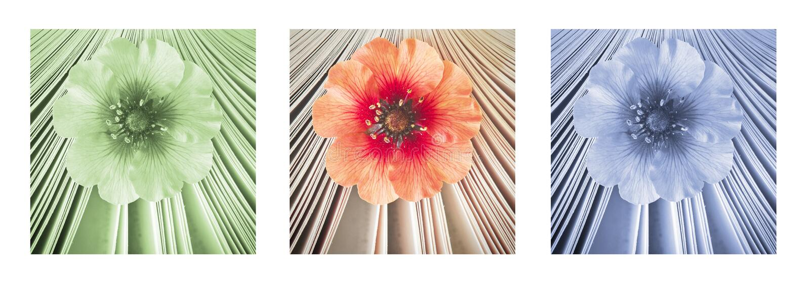 Beautiful little flower in book, aroma of story. Triptych in red, green and blue. Beautiful little flower in book, aroma of story. Triptych in red, green and royalty free stock photos