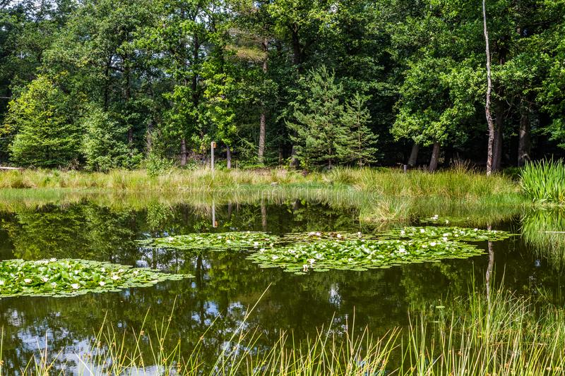 Little forest fen in the Netherlands. A beautiful little forest fen surrounded with trees near National park De Hoge Veluwe in the Netherlands royalty free stock images