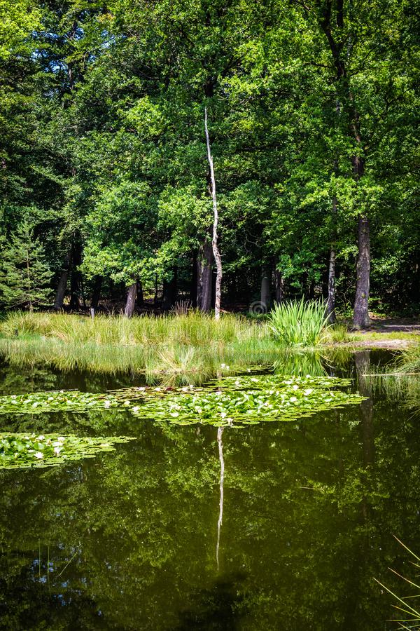 Little forest fen in the Netherlands. A beautiful little forest fen surrounded with trees near National park De Hoge Veluwe in the Netherlands royalty free stock photography