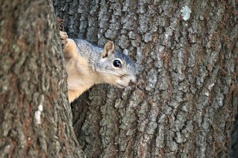 A beautiful little fox squirrel peaking out between two branches of an oak tree. stock image