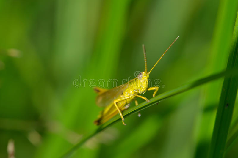 Download Beautiful Little Grasshopper Stock Photo - Image: 25813748