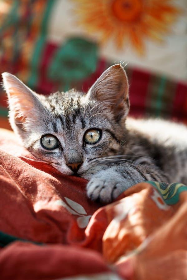Beautiful little gray kitten stock photography