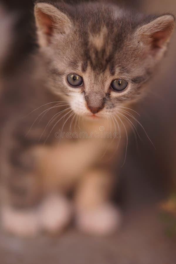 Beautiful little gray kitten, cute portrait close up royalty free stock photography