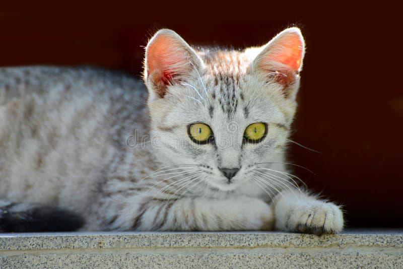 Beautiful little gray kitten stock images