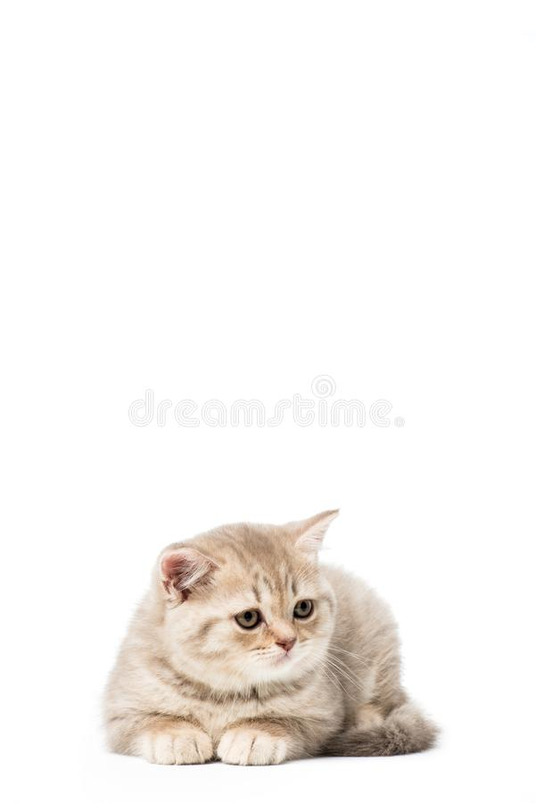 Beautiful little grey cat lying. Isolated on white royalty free stock photo
