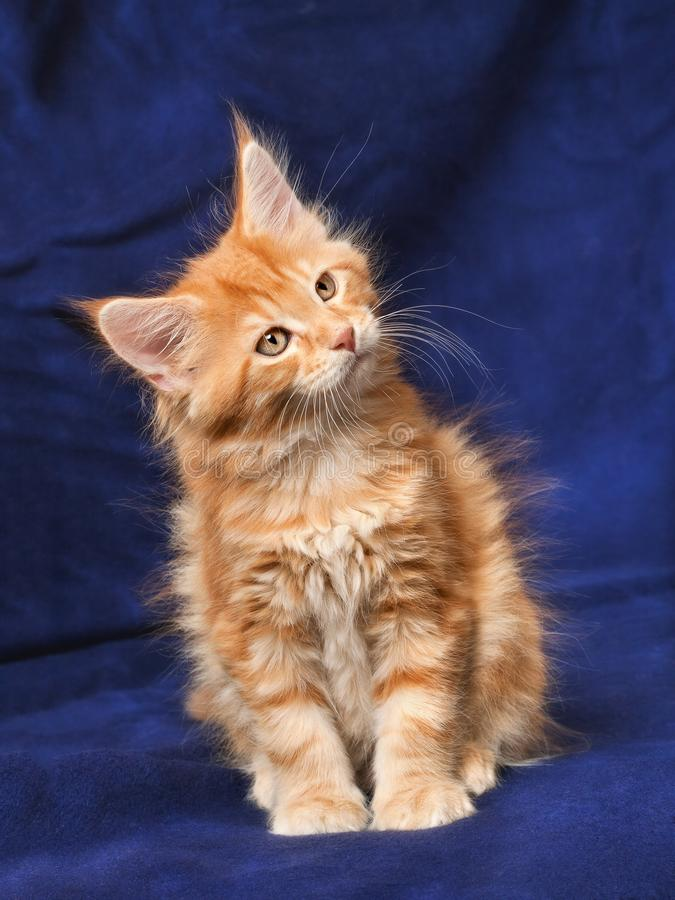 Download Beautiful little kittens stock photo. Image of purebred - 15969356