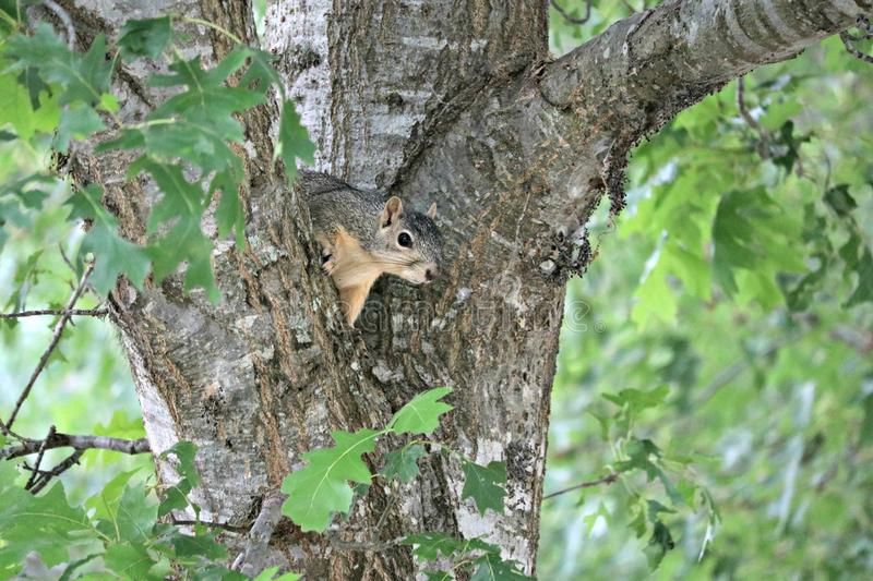 A beautiful little male fox squirrel peaking out between two branches of an oak tree. royalty free stock photo