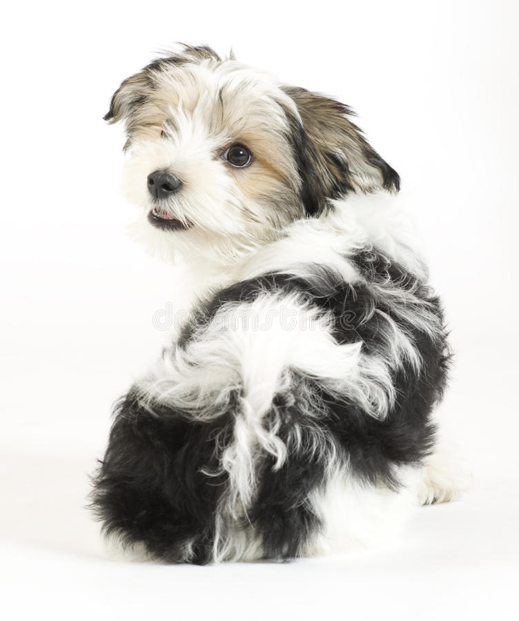 Small longhaired mixed dog, 16 weeks, Maltese and Yorkshire terrier stock image