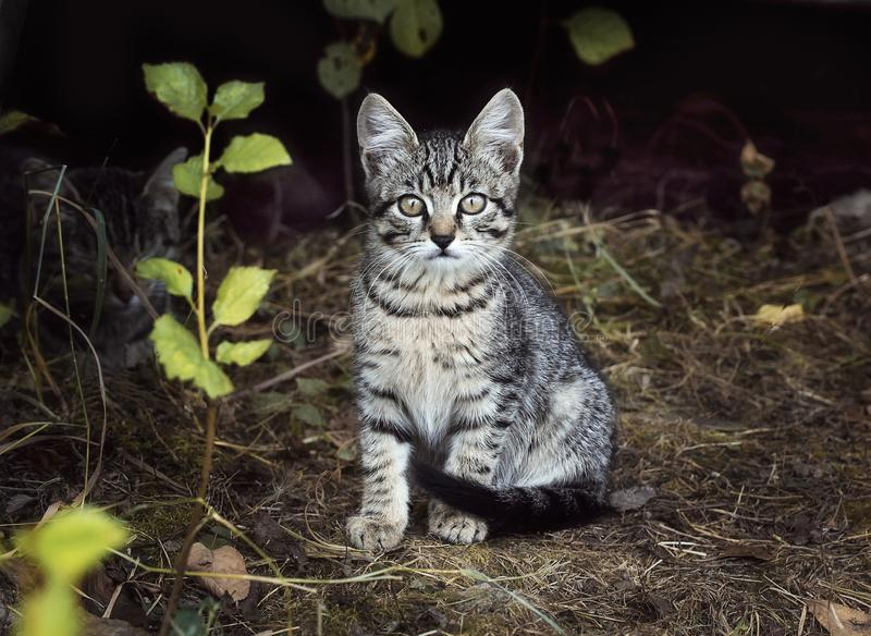 A beautiful little moustached grey white striped kitten is sitting on the grass. Kitten interested and mistrustful looks. Street royalty free stock image