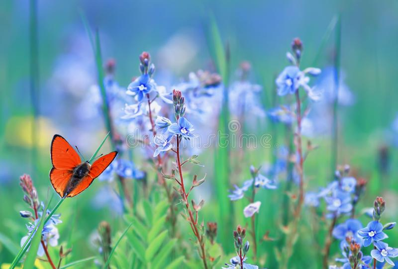 Little orange butterfly sits on a summer meadow with lush green grass and bright blue flowers. Beautiful little orange butterfly sits on a summer meadow with stock photography