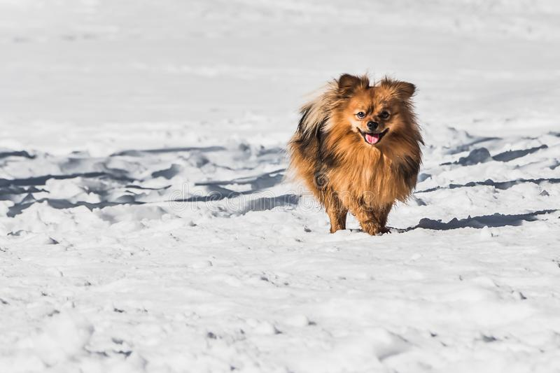 A beautiful little orange Pomeranian or Pom is a breed of dog of the Spitz running in white snow in winter stock image