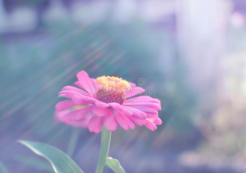 Beautiful colorful flowers. Beautiful Little Pink flowers with warm light stock photo