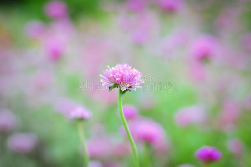Beautiful colorful flowers. Beautiful Little Pink flowers with warm light royalty free stock image