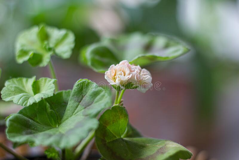 Beautiful little pink pelargonia in a pot stock image
