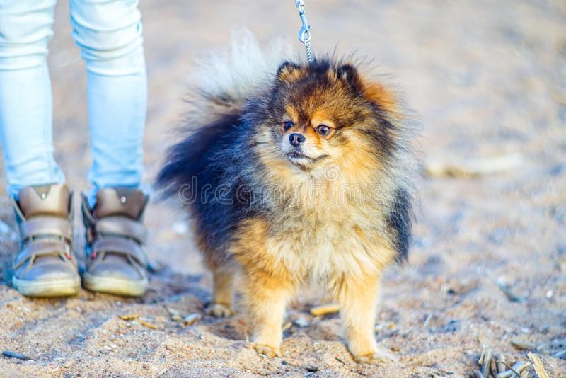 Beautiful little puppy Spitz stands on the background of sand and beach next to the feet of his mistress, feet small . funny smili stock photos
