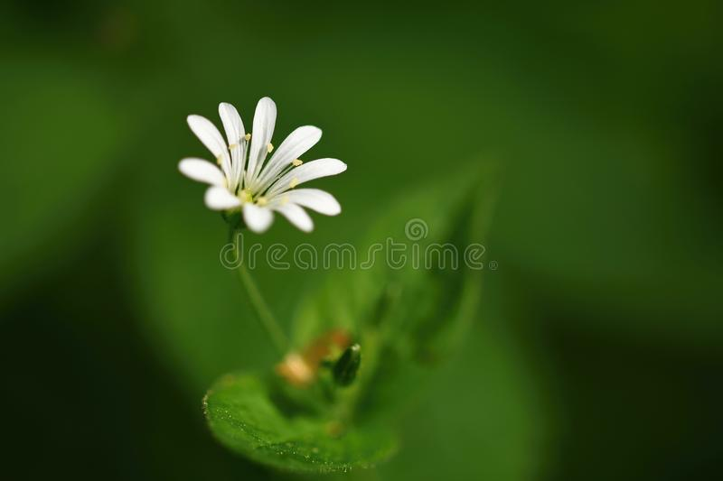 Beautiful little spring white flower. Natural colored blurred background with forest.Stellaria nemorum royalty free stock photography
