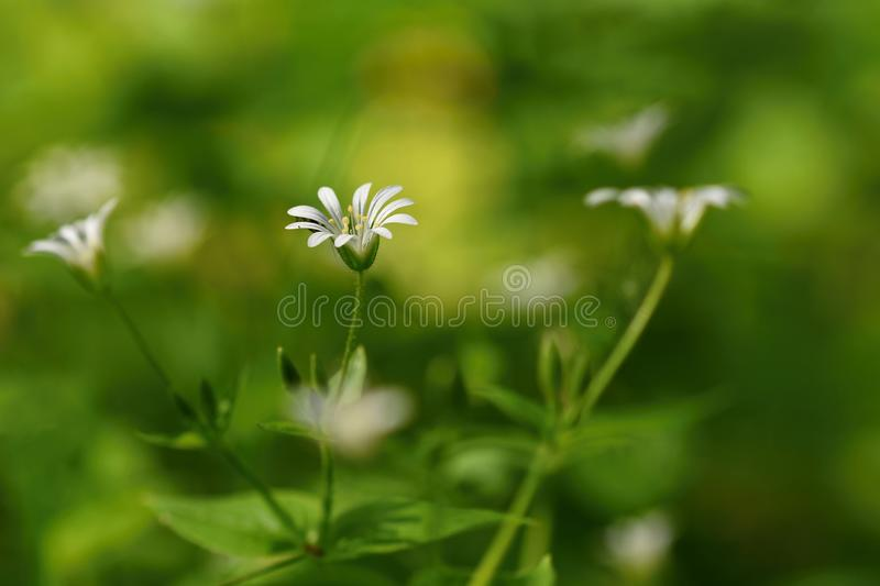 Beautiful little spring white flower. Natural colored blurred background with forest.Stellaria nemorum stock photography