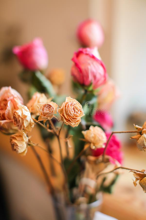 Beautiful little tea roses with withering, on light background. In selective focus royalty free stock photos