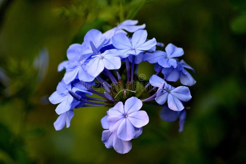 Beautiful Little Violet Jasmine Flower royalty free stock image