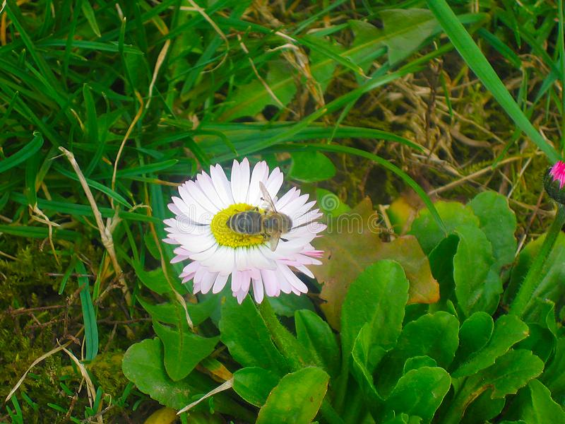 Beautiful little white flower in the garden with bee. With green grass, macro photography royalty free stock photography