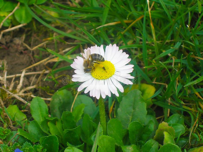 Beautiful little white flower in the garden with bee. With green grass, macro photography royalty free stock photo