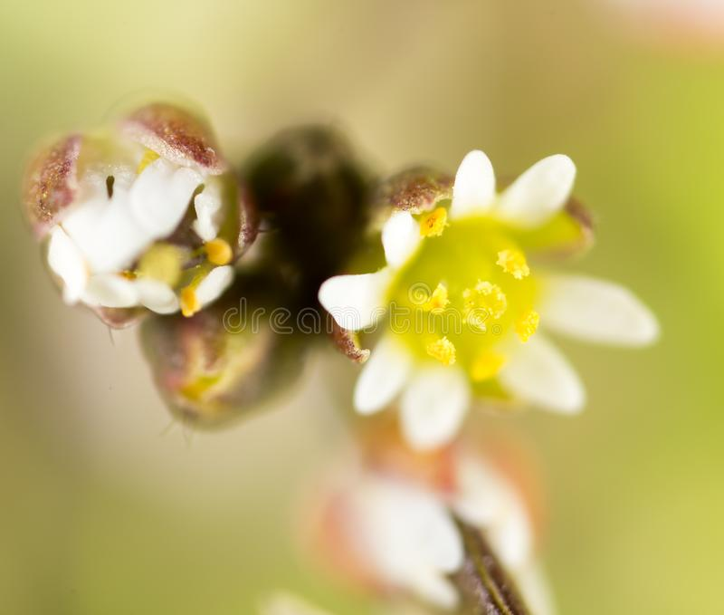 Beautiful little white flower in nature. macro royalty free stock photography