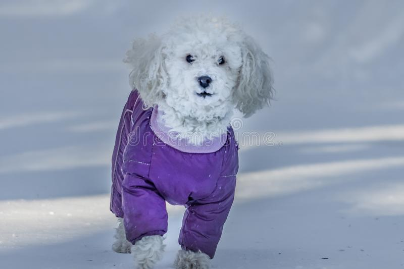 A beautiful little white lap dog in the bright purple jumpsuit and with white snow on the snout is in the park in winter. A beautiful little white lap dog in the royalty free stock images