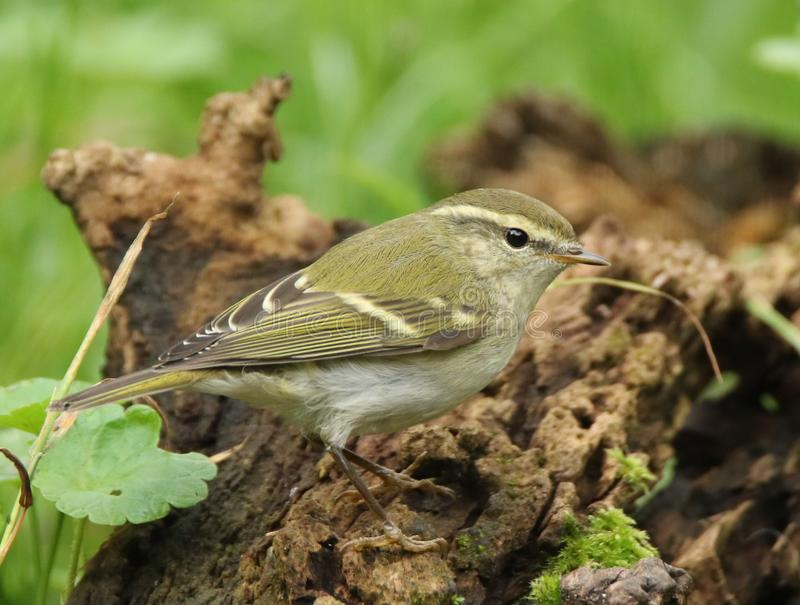 Yellow-browed warbler stock photo