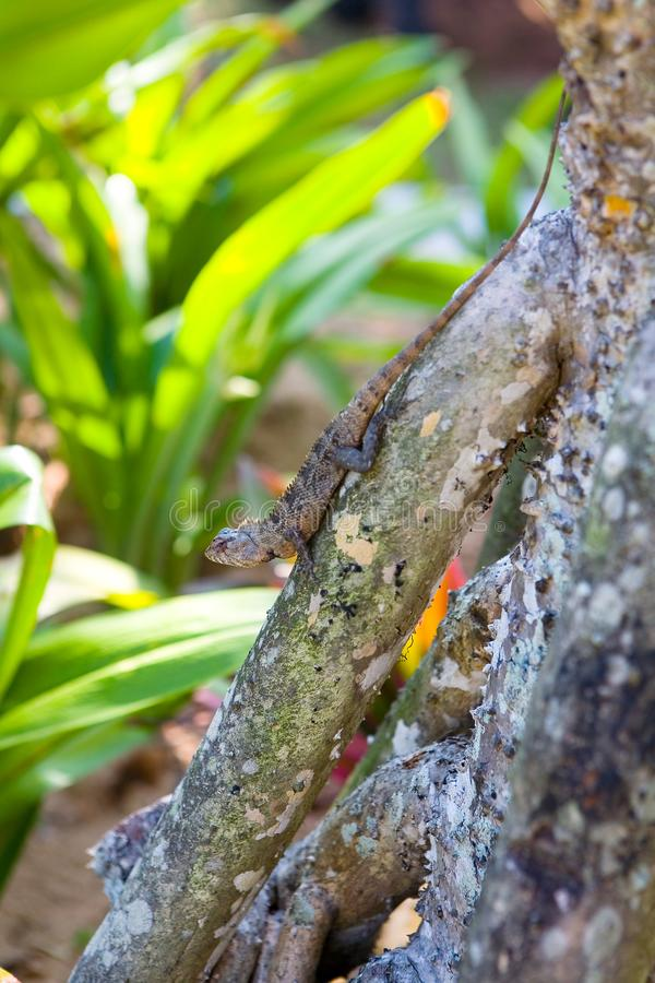 A beautiful lizard agama sits on a snag. Nature of Sri Lanka royalty free stock image