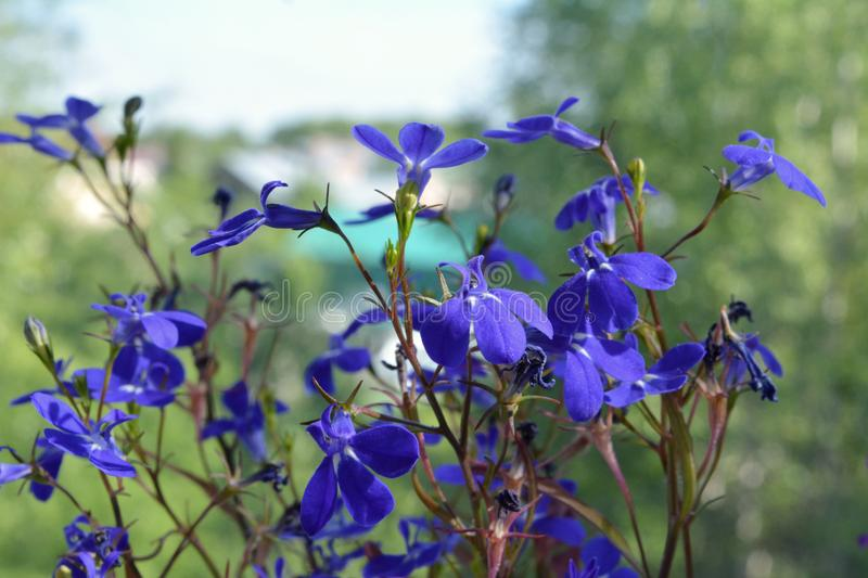 Beautiful lobelia with delicate blue flowers on blurred background. Of town out of the window royalty free stock photos