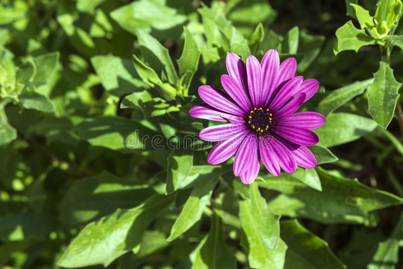 Beautiful lonely lilac flower like a daisy. Osteospermum Eklon Osteospermum ecklonis on the background of green leaves. Close-up royalty free stock photos