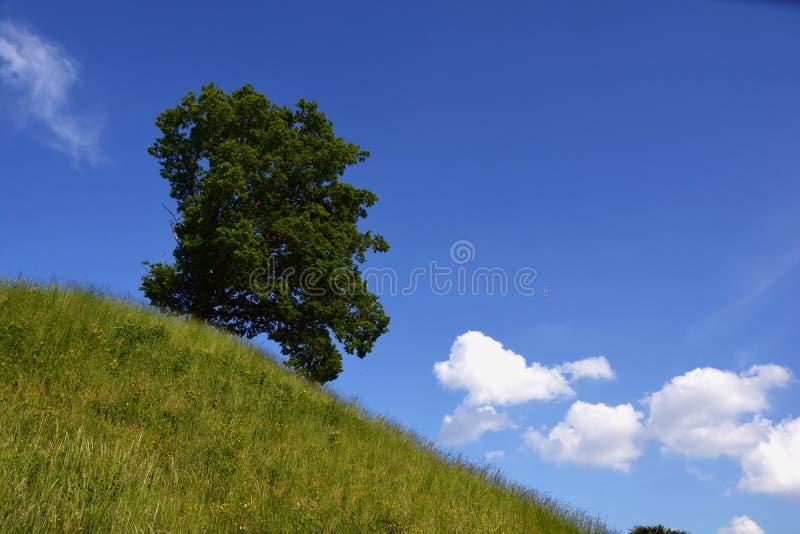 Beautiful oak tree on green hill in summer stock photo