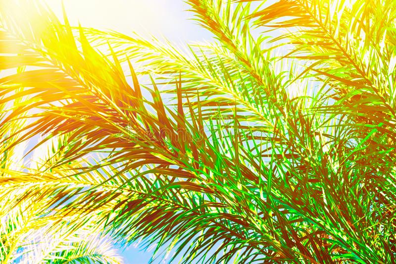 Beautiful long feathery palm tree branches in bright golden sunlight on blue sky background. Vibrant emerald green color. Tropical royalty free stock photography