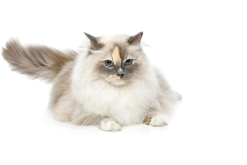 Beautiful birma cat isolated on white. Beautiful long fur birma cat isolated on white. studio shot. copy space royalty free stock images