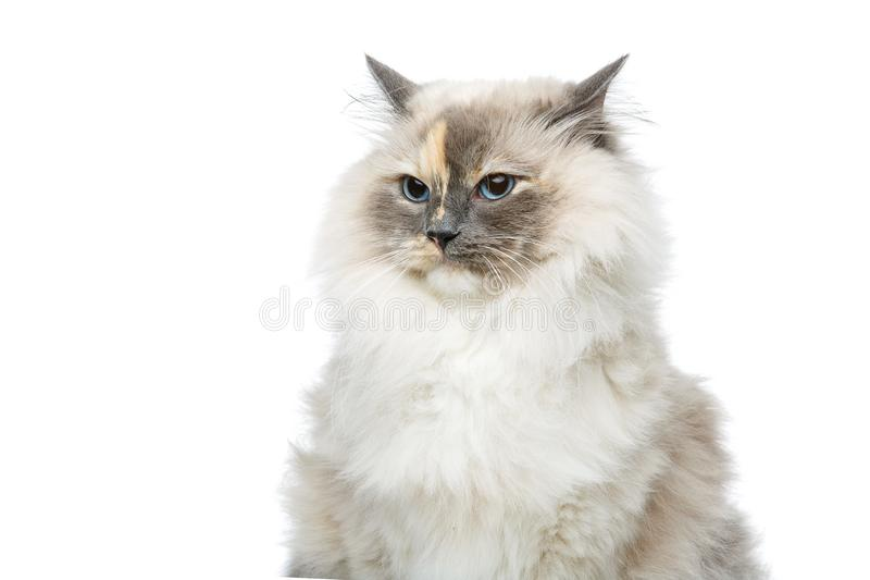Beautiful birma cat isolated on white. Beautiful long fur birma cat isolated on white. studio shot. copy space royalty free stock photo