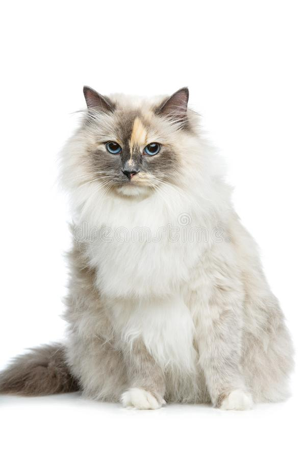 Beautiful birma cat isolated on white. Beautiful long fur birma cat isolated on white. studio shot. copy space royalty free stock image