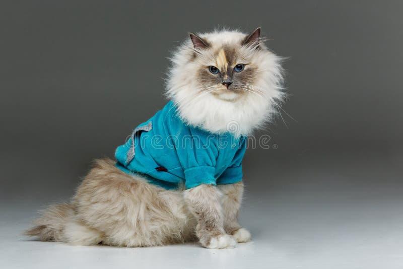Beautiful birma cat in blue shirt. Beautiful long fur birma cat wearing blue shirt pullover on white. studio shot. copy space royalty free stock photo