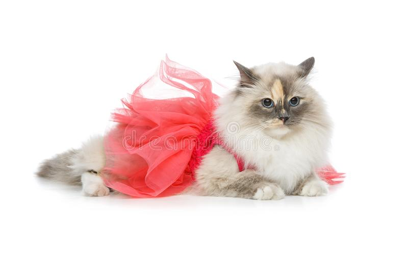 Beautiful birma cat in pink dress. Beautiful long fur birma cat wearing pink coral dress on white. studio shot. copy space stock images
