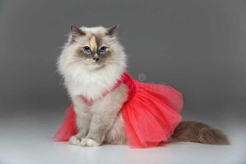 Beautiful birma cat in pink dress. Beautiful long fur birma cat wearing pink coral dress on white. studio shot. copy space stock photos