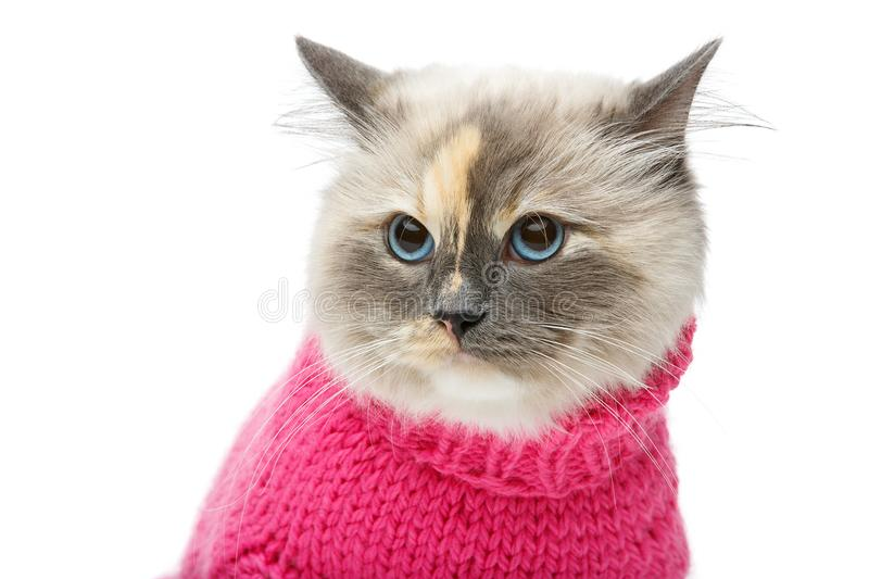 Beautiful birma cat in pink pullover. Beautiful long fur birma cat wearing pink pullover isolated on white. studio shot. copy space stock images