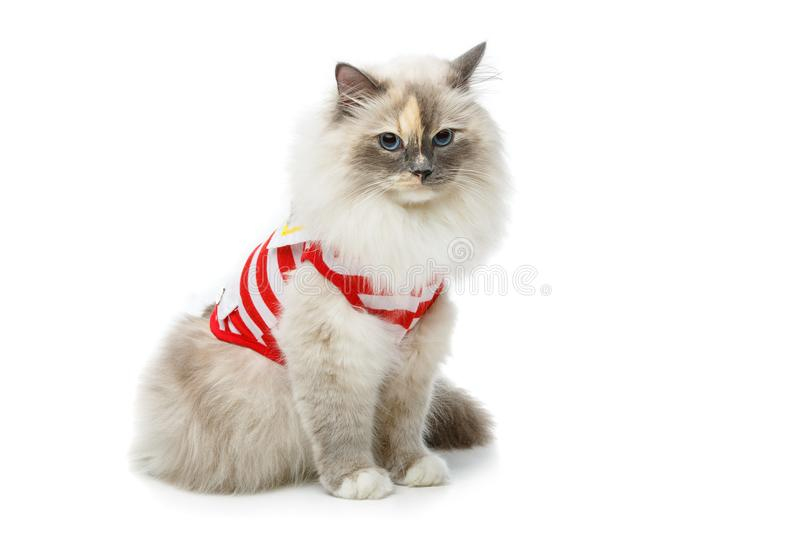 Beautiful birma cat in red pullover. Beautiful long fur birma cat wearing red striped pullover isolated on white. studio shot. copy space royalty free stock image