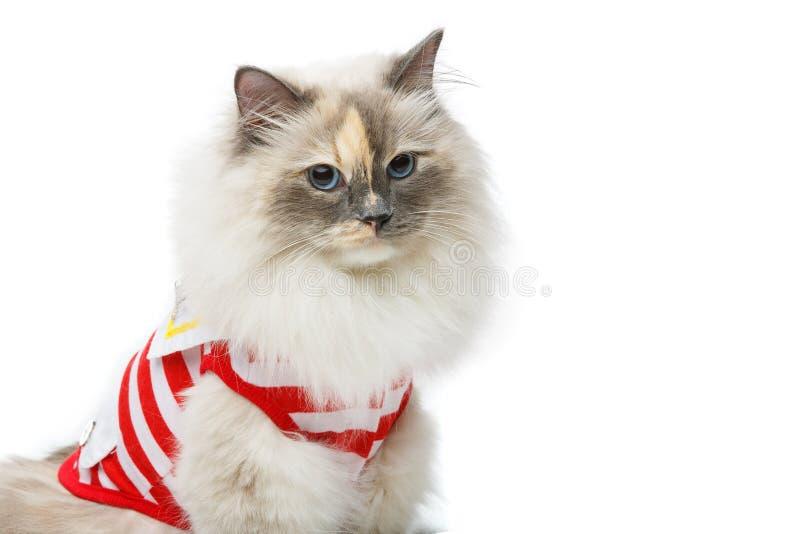 Beautiful birma cat in red pullover. Beautiful long fur birma cat wearing red striped pullover on white. studio shot. copy space stock photos