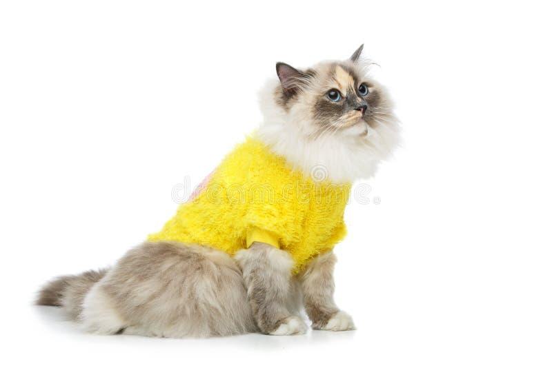 Beautiful birma cat in yellow pullover. Beautiful long fur birma cat wearing yellow pullover isolated on white. studio shot. copy space stock photos