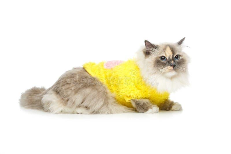 Beautiful birma cat in yellow pullover. Beautiful long fur birma cat wearing yellow pullover on white. studio shot. copy space stock image
