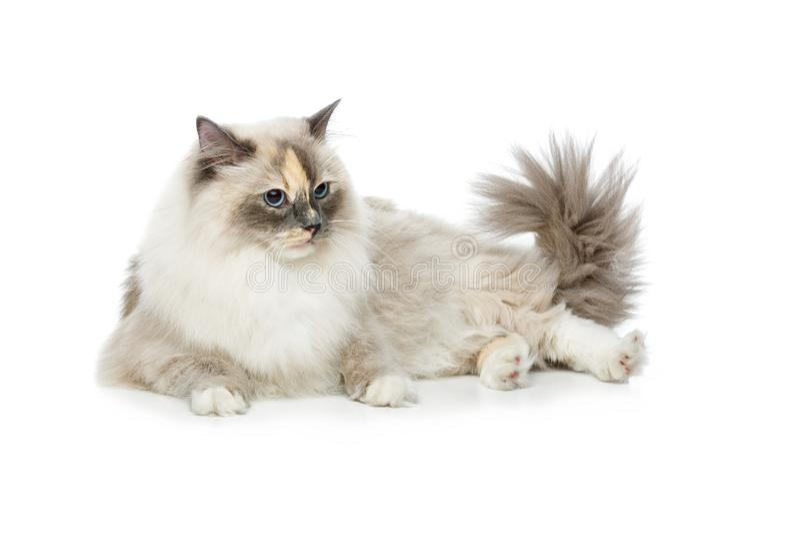Beautiful birma cat on white. Beautiful long fur birma cat on white. studio shot. copy space royalty free stock photography