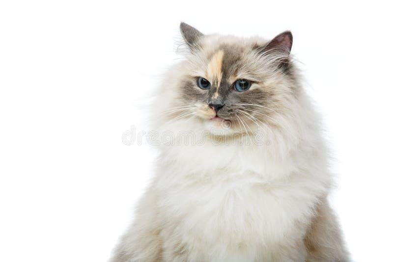 Beautiful birma cat on white. Beautiful long fur birma cat on white. studio shot. copy space royalty free stock photo