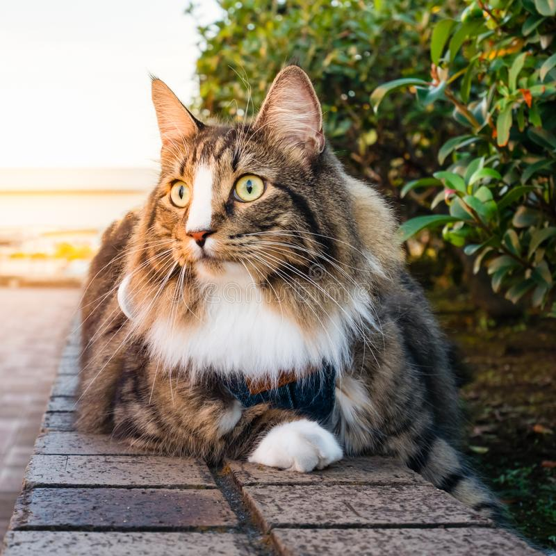 Beautiful long hair cat at the park. With warm sunlight royalty free stock photo