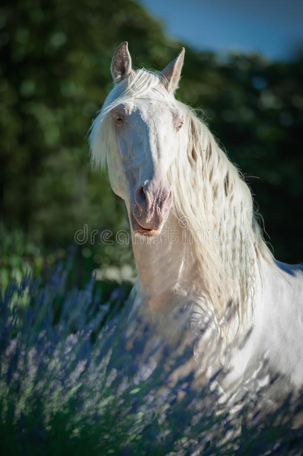 Beautiful long haired perlino lusitano stallion posing in lavender. The beautiful long haired perlino lusitano stallion posing in lavender royalty free stock photo