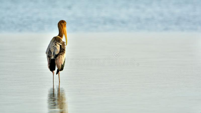 Painted Stork Juvenile during the golden hour on a serene blue background. A beautiful looking Juvenile Painted Stork reflecting its neck, feathers and beak on a